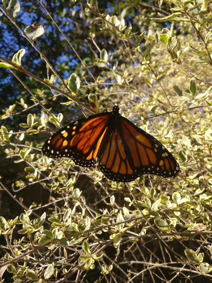monarch-butterfly-wing-transplantation-4-5a57134999801__700