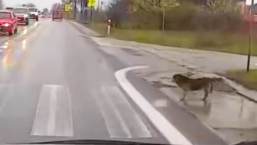 dog safety crossing road